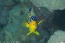 BD-121128-Aqaba-7565-Pygoplites-diacanthus-(Boddaert.-1772)-[Regal-angelfish.-Påfågelkejsarfisk].jpg